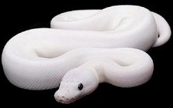 White snake 250