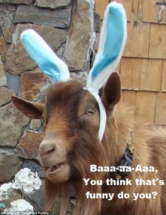 Goat with ears you think that's funny 680