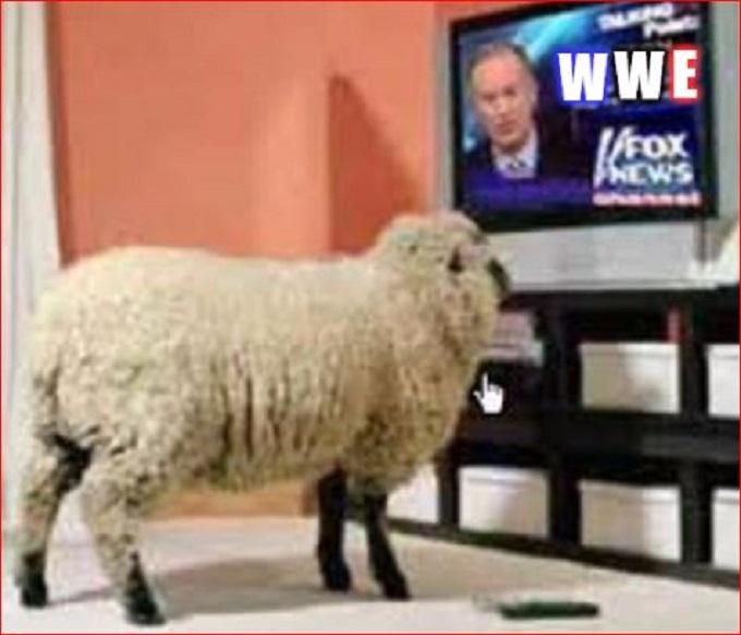 Sheep WWE Fox