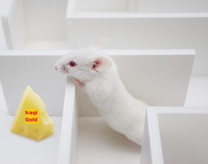 Rat in Maze Iraqi Gold