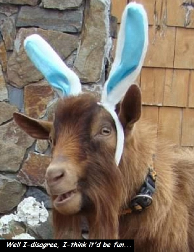 Goat with ears disagree fun 680
