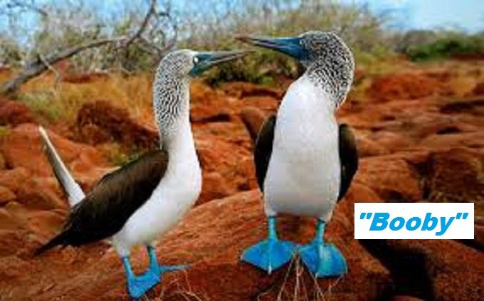 Booby Bird (Booby)