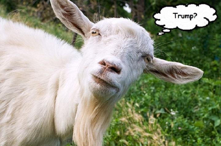 goat-trump