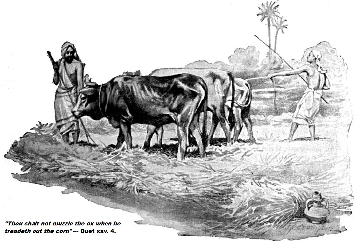 oxen-biblical-quote