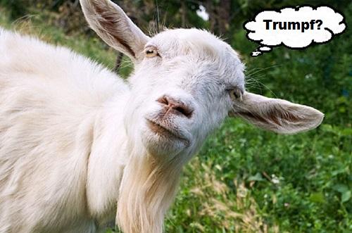 goat-blank-trumpf-500